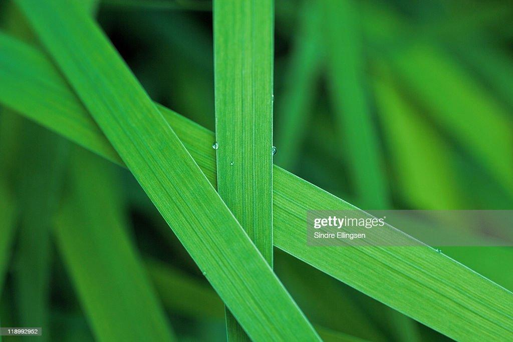 Lush grass leaves : Stock Photo