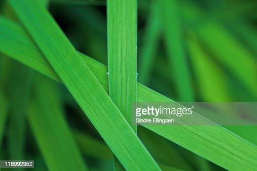 Lush grass leaves : Stock Photo