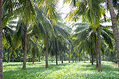 Lush green coconut grooves