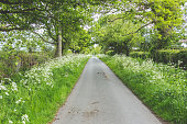 Lush green country lane with lots of cow parsley