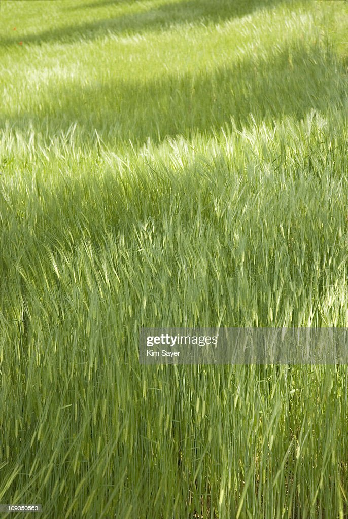 Lush green grass in meadow : Stock Photo