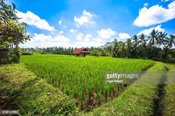 Lush green rice field, Ubud, Bali