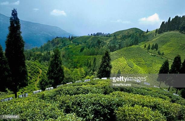 Lush green tea gardens near Mirik Darjeeling West Bengal India