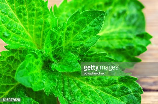 lush mint leaves : Stock Photo