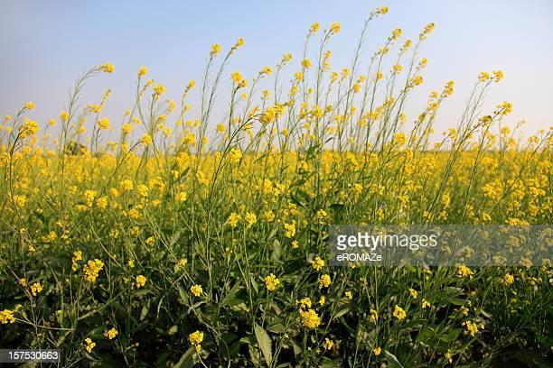 Senf-crop