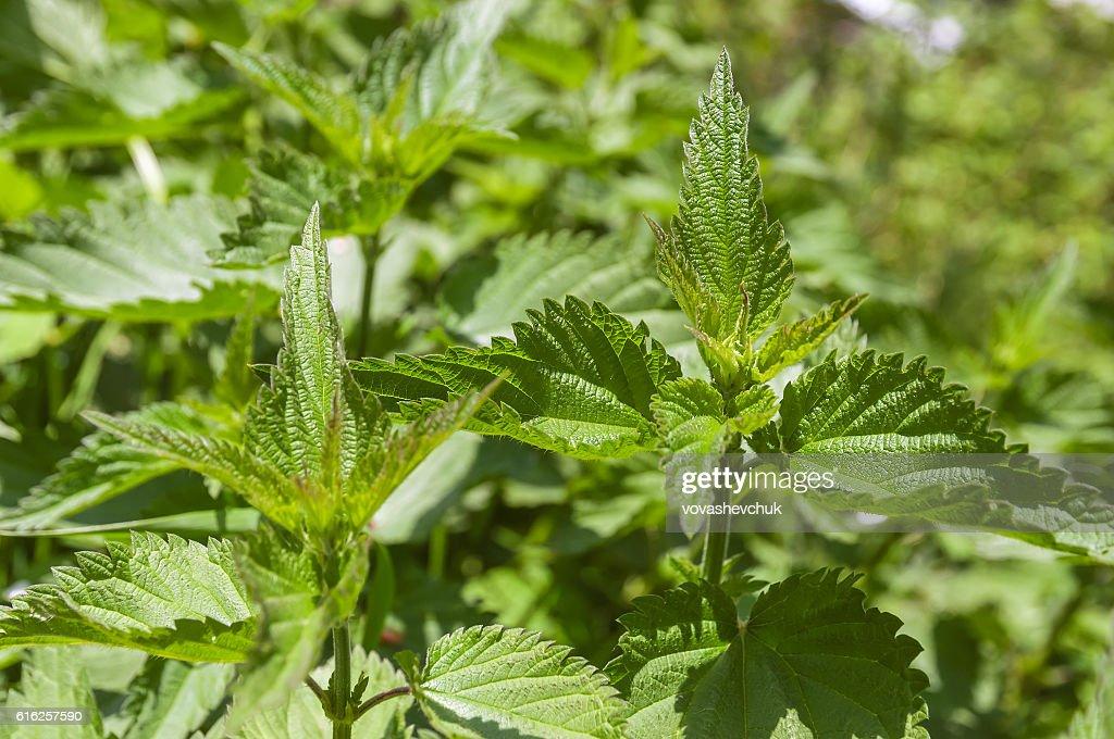 lush nettle bushes : Foto de stock