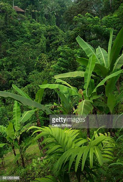 Lush tropical vegetation, in Payogan, Bali