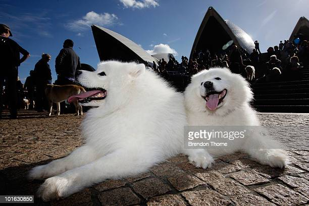 'Luska' and 'Plonk' two Samoyed's enjoy the music at the 'Music for Dogs' concert for canines as part of the Vivid LIVE festival at the Sydney Opera...