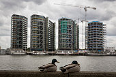 Luxury apartment buildings currently under construction on the south bank of the Thames are seen behind a pair of mallards on June 1 2015 in London...