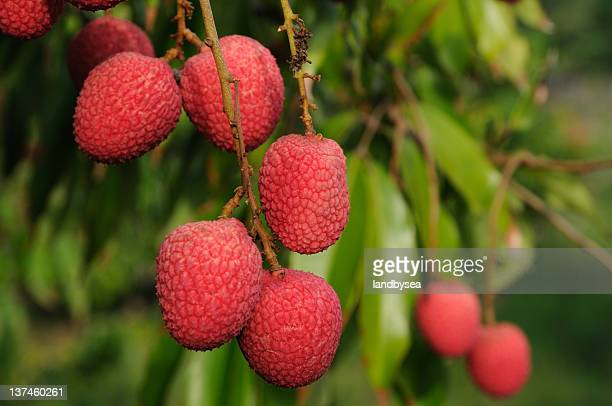 Lychee fruit on tree. Litchi sinensis