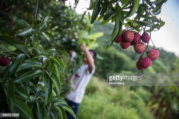Lychees hang from a tree at an orchard in the Chai Prakan district of Chiang Mai province Thailand on Saturday May 27 2017 Thailand's economic...