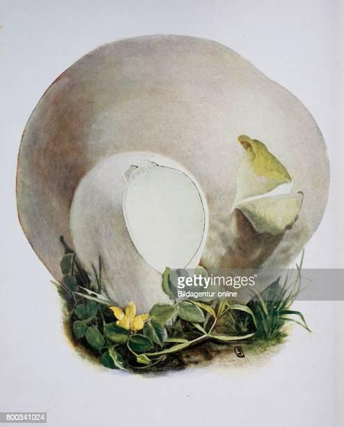 Lycoperdon is a genus of puffball mushrooms Lycoperdon bovista digital reproduction of an ilustration of Emil Doerstling