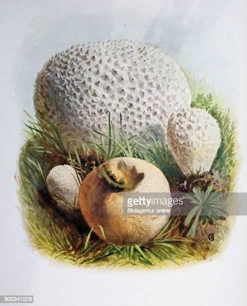 Lycoperdon is a genus of puffball mushrooms Lycoperdon caelatum digital reproduction of an ilustration of Emil Doerstling