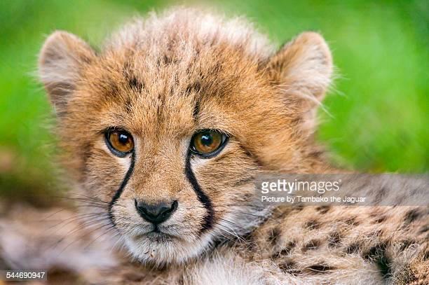 Lying cheetah cub