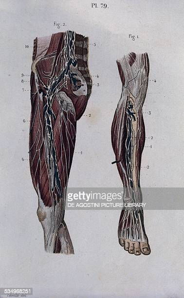 Lymph nodes and lymphatic vessels in the thigh and leg anatomical plate