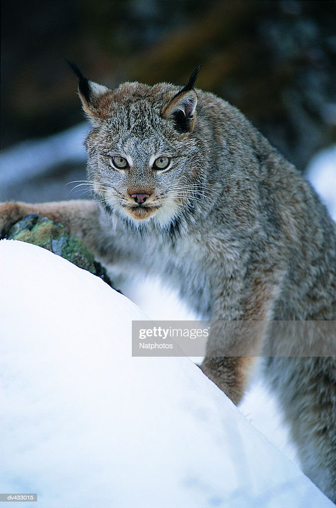 Lynx, also known as Bobcat or Wildcat (Lynx rufus) : Stock Photo