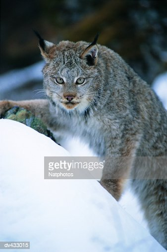 Lynx, also known as Bobcat or Wildcat (Lynx rufus)