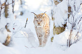 European lynx cat walks in the snow. Cold winter woods in January.