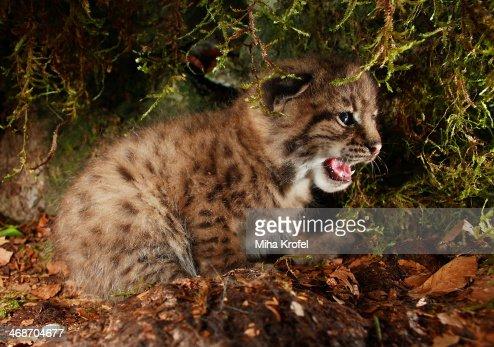 Lynx cub in a den