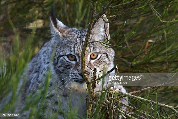 A Lynx cub sits in a bush in their enclosure at the Highland Wildlife Park on December 16 2015 in KincraigScotland Concerns have been raised by...