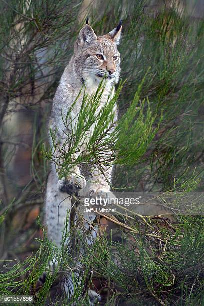 A Lynx cub stands in a bush in their enclosure at the Highland Wildlife Park on December 16 2015 in KincraigScotland Concerns have been raised by...
