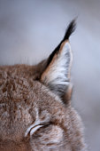 Lynx (Lynx lynx) ear, close-up