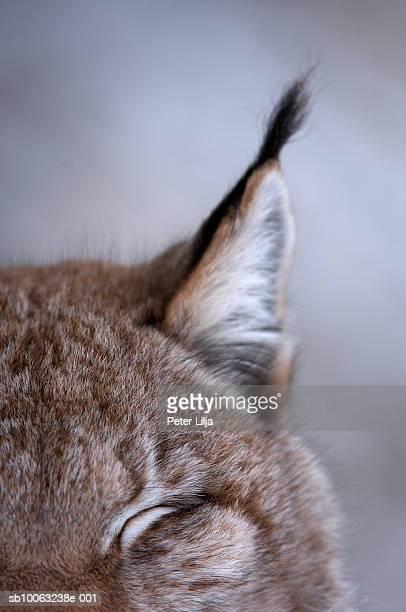 Lynx (Lynx lynx) ear, close-up