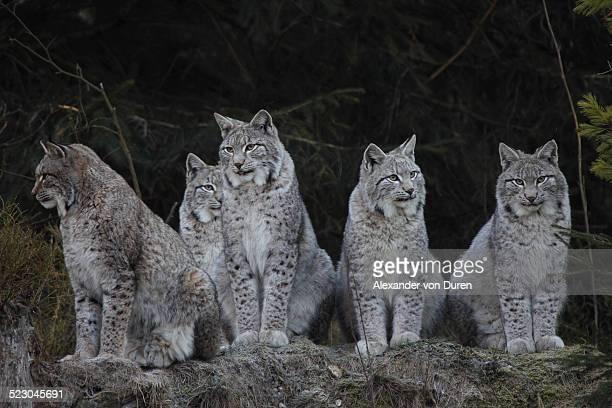 Lynx family -Lynx lynx-