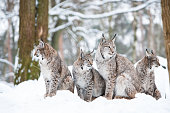 lynx family with four bobcats sitting in a snowy winter forest