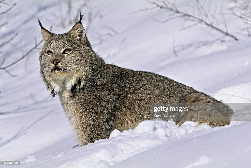 Lynx, Felis lynx, in snow, northern Montana, USA (SI) : Stock Photo