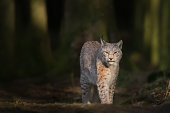 Lynx in deep Forest at Sunset
