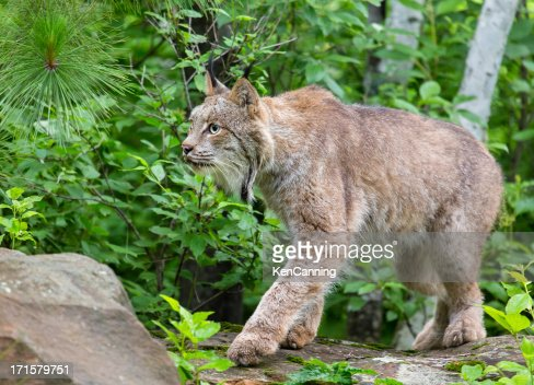 Lynx in Forest