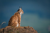 Lynx in profile on rock looking up
