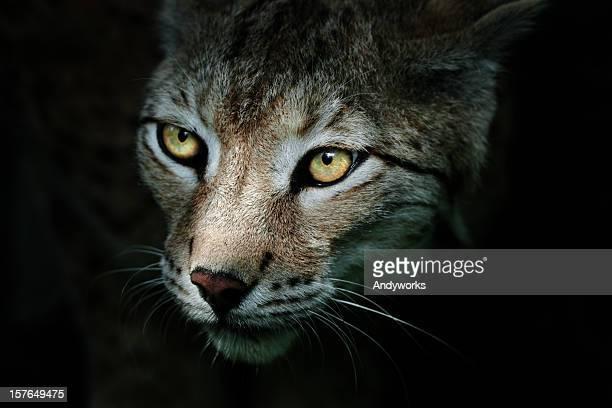 Lynx In The Dark