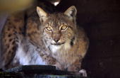 A lynx is pictured at the Amneville zoo eastern France on June 4 2010 AFP PHOTO / JEANCHRISTOPHE VERHAEGEN