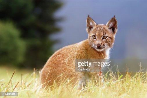 Lynx kitty