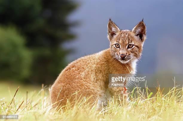 オオヤマネコ kitty