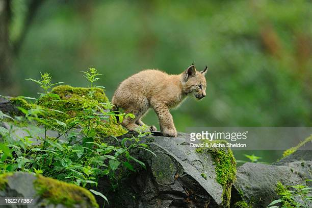 Lynx, lynx lynx, Wildpark alte Fasanerie Hanau, Hesse, Germany, Europe