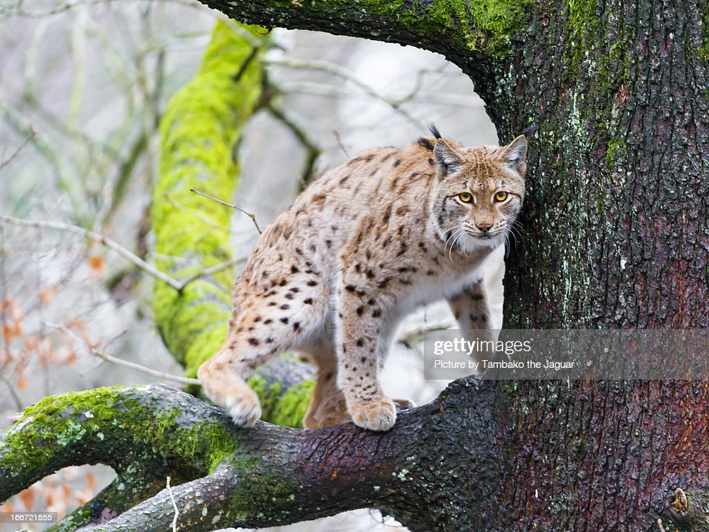 A lynx on the tree III : Stock Photo