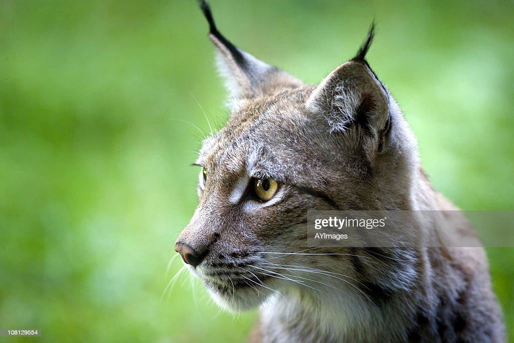Lynx : Stock Photo
