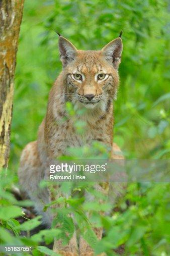 Lynx : Bildbanksbilder