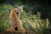 Lynx in Cabarceno Natural Park, Cantabria.Spain.