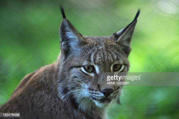 A lynx sits in its enclosure at the 'Alte Fasanerie' wildlife park in Hanau KleinAuheim western Germany on September 16 2012 The Lynx is native to...