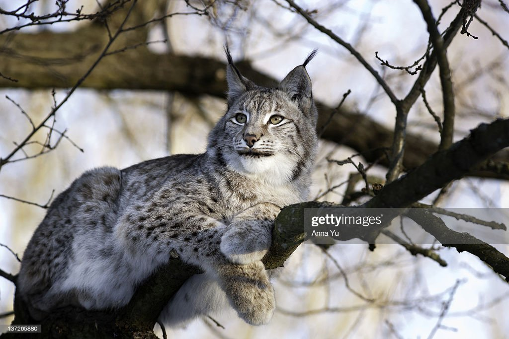 Lynx sitting on a tree branch in winter : Stock Photo