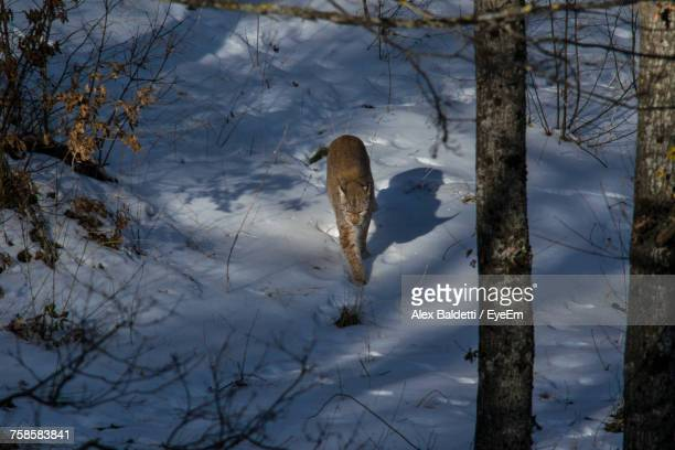 Lynx Walking On Snowfield At Abruzzo National Park