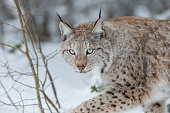 A Eurasian Lynx slowly walking through the snow and looking at the camera.