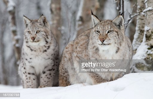 A Lynx with her cub. : Stock Photo