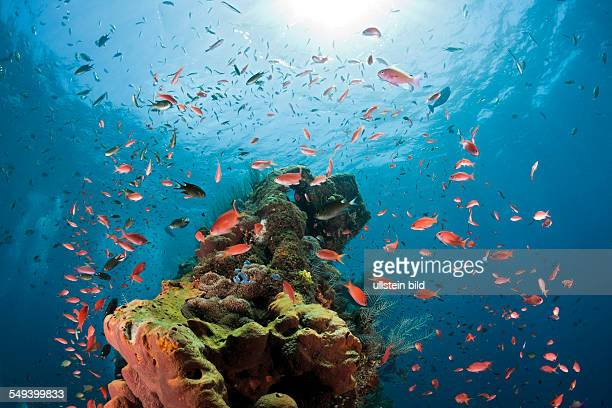 Lyretail Anthias at Liberty Wreck Pseudanthias squamipinnis Tulamben Bali Indonesia