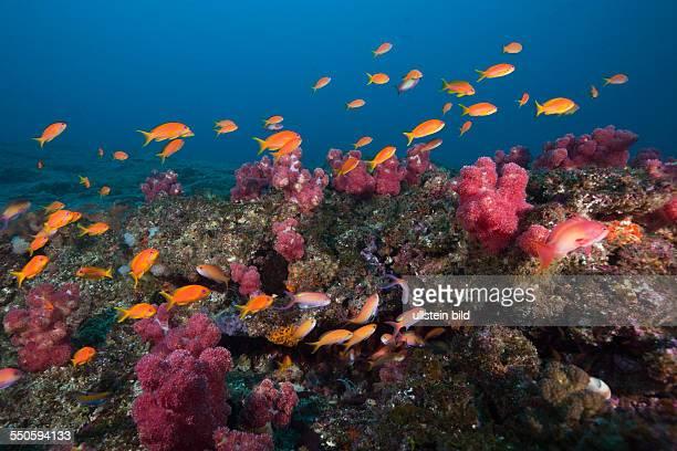 Lyretail Anthias over Coral Reef Pseudanthias squamipinnis Aliwal Shoal Indian Ocean South Africa
