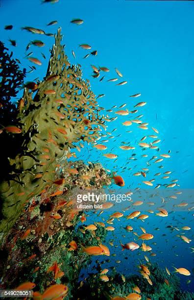 Lyretail anthias Pseudanthias squamipinnis Egypt Red Sea Hurghada